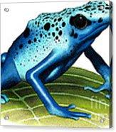 Blue Poison Dart Frog Acrylic Print