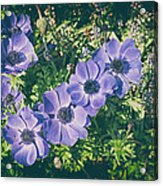 Blue Poppies Blooms Acrylic Print