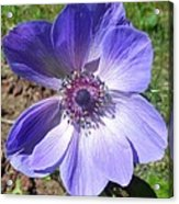 Blue Poppy Anemone Acrylic Print