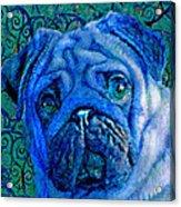 Blue Pug Acrylic Print