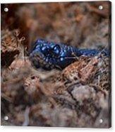 Blue Racer Snake Acrylic Print