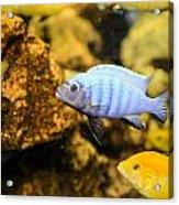 Blue Reef Fish Acrylic Print