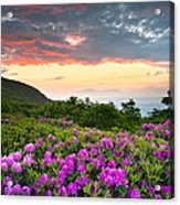 Blue Ridge Parkway Sunset - Craggy Gardens Rhododendron Bloom Acrylic Print by Dave Allen