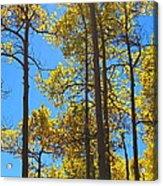 Blue Skies And Golden Aspen Trees Acrylic Print
