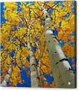 Blue Sky and Tall Aspen Trees Acrylic Print