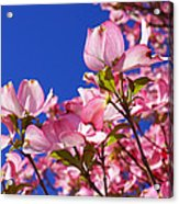 Blue Sky Art Prints Pink Dogwood Flowers Acrylic Print