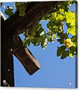 Blue Sky Grape Harvest - Thinking Of Fine Wine Acrylic Print