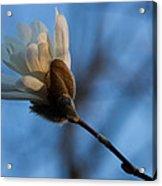 Blue Sky Magnolia Blossom - Dreaming Of Spring Acrylic Print