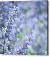 Blue Sonata Acrylic Print