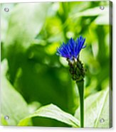 Blue Spot In The Green World - Featured 3 Acrylic Print