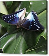 Blue-spotted Charaxes Butterfly #2 Acrylic Print