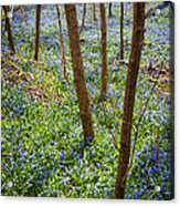 Blue Spring Flowers In Forest Acrylic Print
