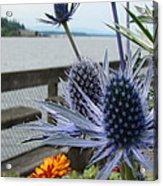 Blue Star Sea Holly Acrylic Print