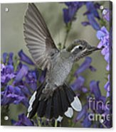 Blue-throated Hummingbird Acrylic Print