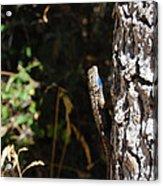 Blue Throated Lizard 1 Acrylic Print