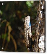 Blue Throated Lizard 2 Acrylic Print