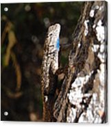 Blue Throated Lizard 3 Acrylic Print