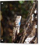 Blue Throated Lizard 4 Acrylic Print