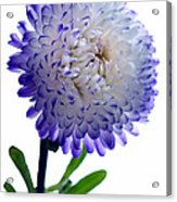 Blue Tipped Aster Acrylic Print