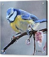 Blue Tit And Blossoms Acrylic Print