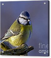 Blue Tit In The Blue Acrylic Print