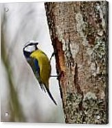 Blue Tit Searching Home Acrylic Print