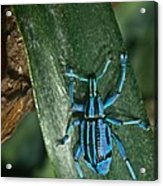 Blue Tropical Weevil Acrylic Print