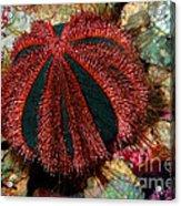 Blue Tuxedo Sea Urchin Acrylic Print