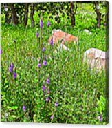 Blue Vervain And Rocks In Pipestone National Monument-minnesota  Acrylic Print