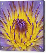 Blue Water Lily Acrylic Print by Heiko Koehrer-Wagner