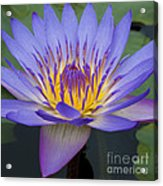 Blue Water Lily - Nymphaea Acrylic Print by Heiko Koehrer-Wagner