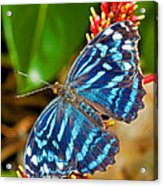 Blue Wave Butterfly Acrylic Print