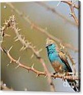 Blue Waxbill - Among The Thorns  Acrylic Print