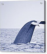Blue Whale Tail Fluke With Remoras Acrylic Print