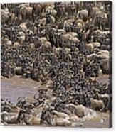 Blue Wildebeest Migration Acrylic Print