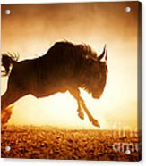 Blue Wildebeest Running In Dust Acrylic Print