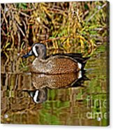 Blue-winged Teal Drake Acrylic Print
