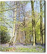 Bluebell Time In England Acrylic Print