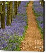 Bluebell Trail Acrylic Print