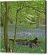 Bluebell Wood 1 Acrylic Print
