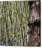 Bluebell Woodland Acrylic Print