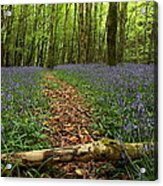 Bluebell Woods Acrylic Print by Peter Skelton