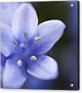 Bluebells 4 Acrylic Print
