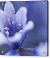 Bluebells 5 Acrylic Print