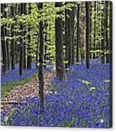 Bluebells In Beech Forest Acrylic Print