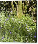 Bluebells And Greater Stitchwort Spring  Boot Eskdale Cumbria England Acrylic Print