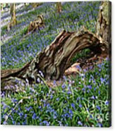 Bluebells At Bransdale Acrylic Print