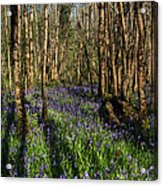 Bluebells In May Acrylic Print