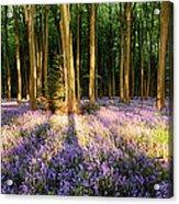 Bluebells In Shadows Acrylic Print