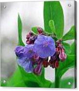Bluebells In The Rain Acrylic Print